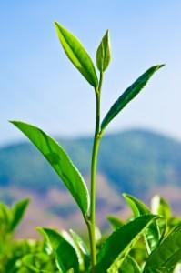 complément alimentaire thé vert pour soigner l'herpès
