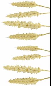 le blé : la céréale la plus complète en nutriments