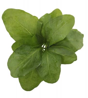 épinard calcium végétal