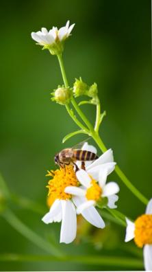 vertus du pollen frais