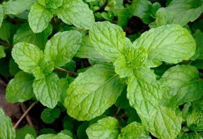 Simples et aromates cultiver au jardin ou sur votre balcon - Cultiver de la menthe ...