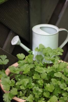 cultiver coriandre
