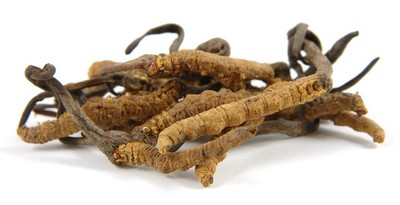 Le Cordyceps sinensis, l'antifatigue chinois
