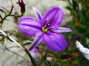 Fringed violet