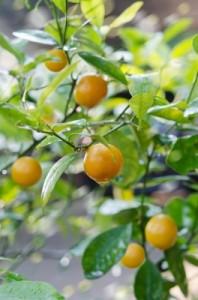 huile essentielle de mandarinier digestive