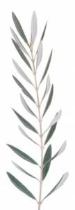 l'extrait de feuille d'olivier est un stimulant immunitaire exceptionnel