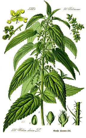 recettes, remèdes naturels, phytothérapie avec l'ortie