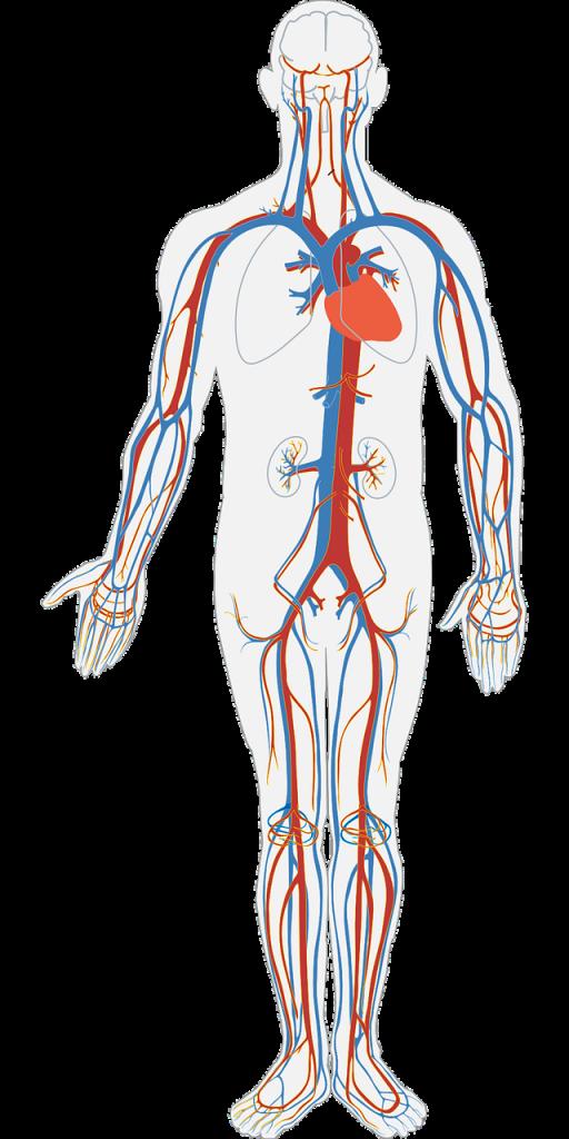 extrait d'écorce de pin protection vasculaire cérébrale et cardiaque