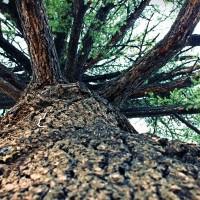 vertus santé de l'extrait d'écorce de pin