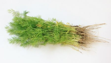 diététique chinoise, nutrition consciente: herbes et épices , l'aneth