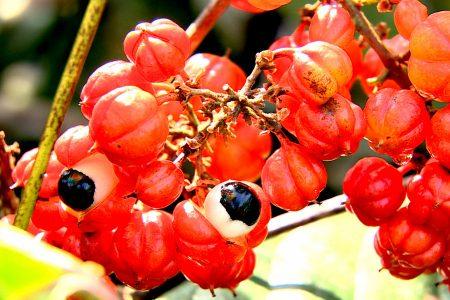 guarana complément nutritionnel stimulant