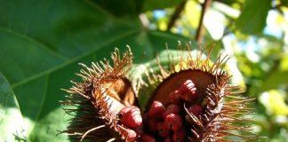 les compléments issus de plantes tropicales : urucum, guarana, stevia...