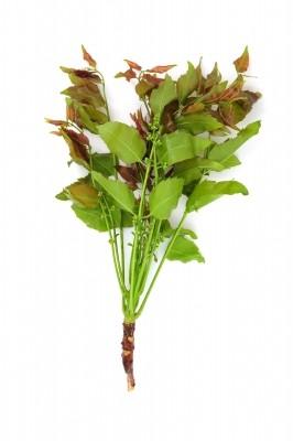 neem plante ayurvédique
