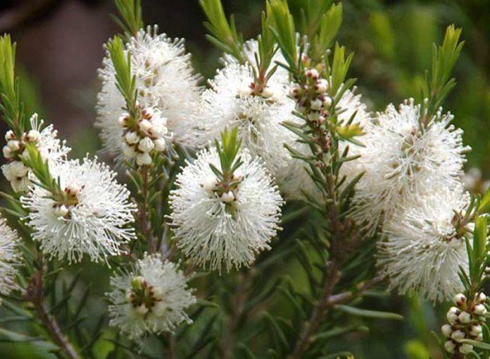 huile essentielle de melaleuca alternifolia ou tea tree