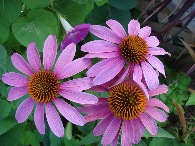 teinture-mère d'echinacea pour soigner les furoncles