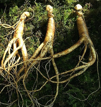 ginseng adaptogène anti-stress naturel