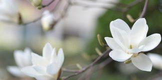 extrait de magnolia adaptogène anti-stress
