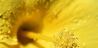 pollen frais congelé, un super aliment pour votre santé