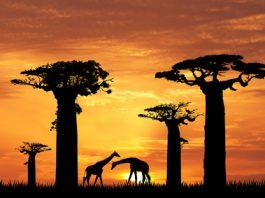 bienfaits de la pulpe du fruit du baobab