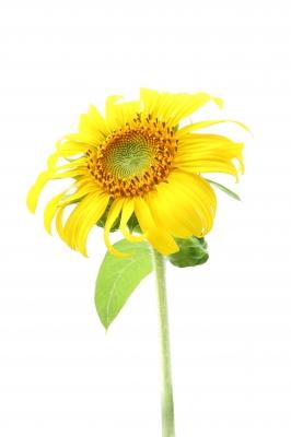 tournesol fleur comestible