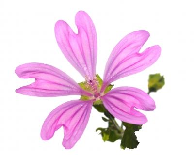 fleur comestible mauve