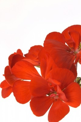 géranium fleur comestible