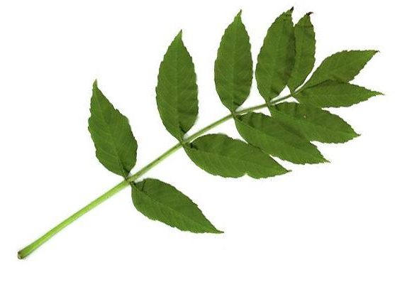phyto feuilles de frêne drainantes