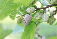 les mulberries ou mûres blanches, des super fruits étonnants