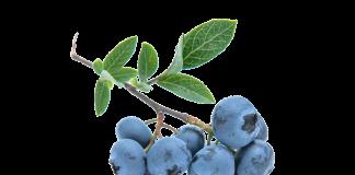 blueberries ou myrtilles anti-âge et protectrices des yeux