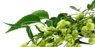 azadirachta indica ou neem : vertus et utilisations