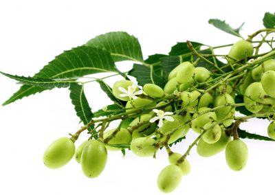 Le neem, un arbre pharmacien