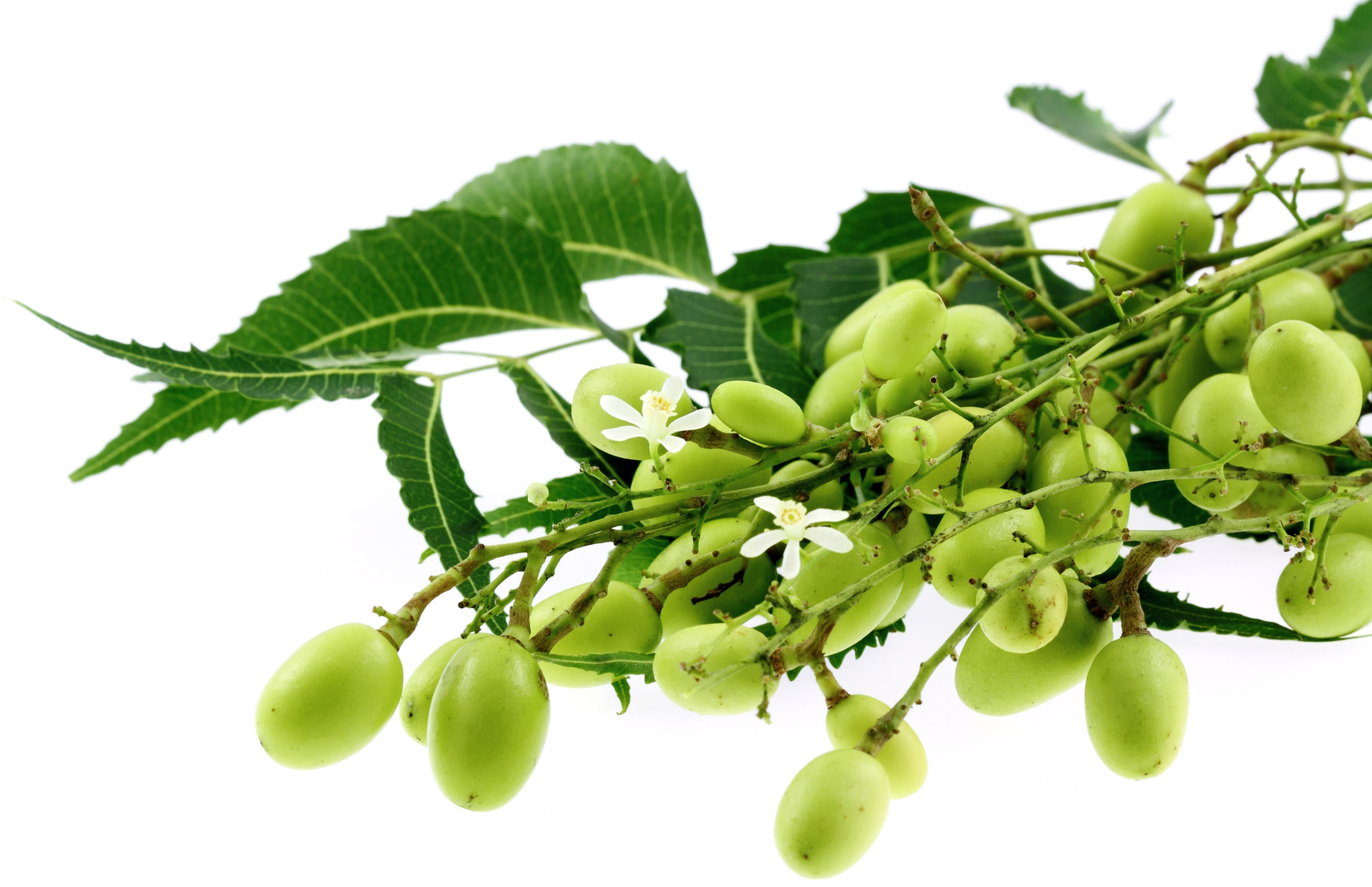 Neem, un árbol farmacéutico