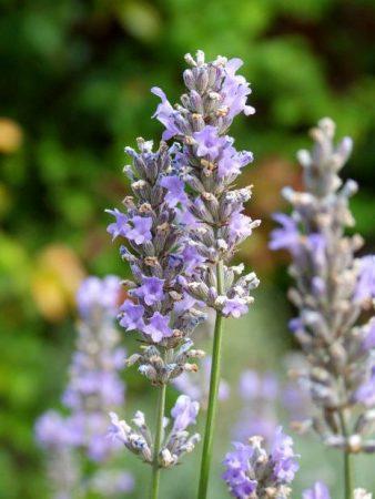 huile essentielle de lavande sédative, vasodilatatrices, hypotensive, calmante, pour la peau, anti-migraine...