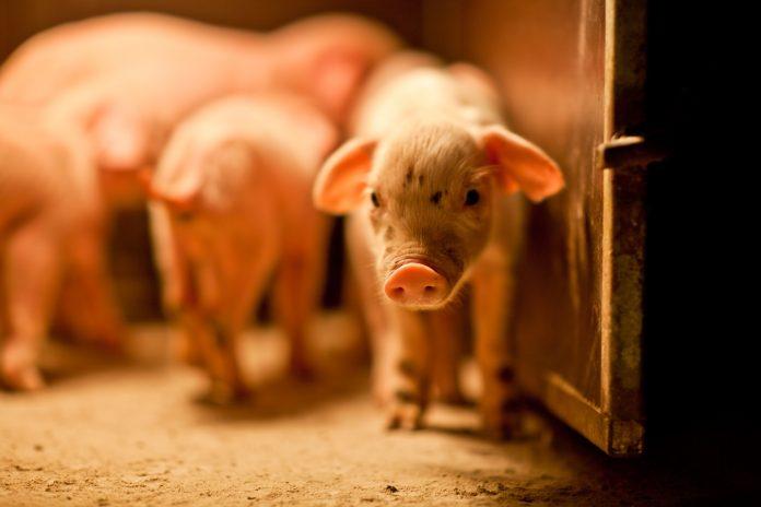 sauver les animaux d'élevage de la maltraitance et de l'abattoir