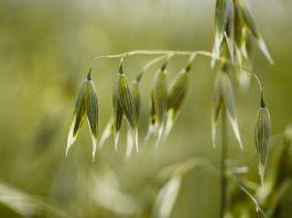 Les bienfaits de l'avoine : céréale et phytothérapique