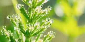 A quoi sert la prêle ? Quelles sont ses vertus ? Une source naturelle de silice exceptionnelle