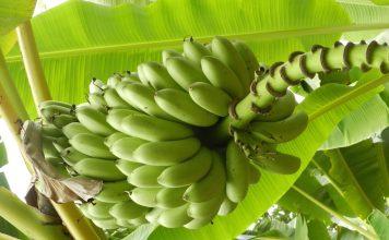 Les bananes bio sont-elles traitées ?