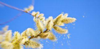 alerte aux pollens allergisants : précautions et solutions naturelles
