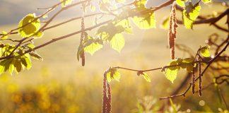 Bienfaits thérapeutiques du bois de noisetier