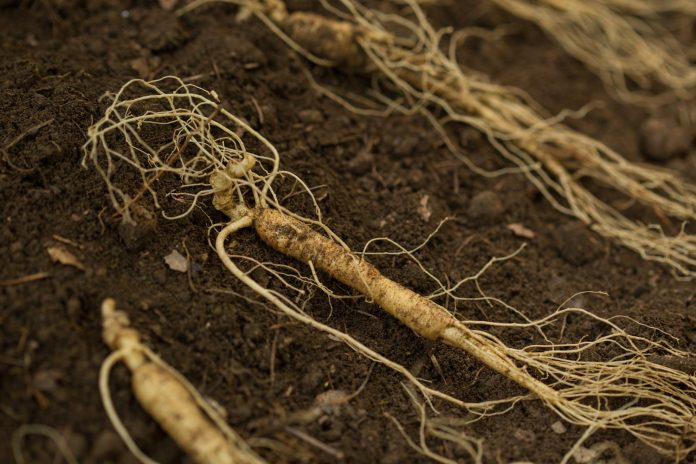 Ginseng culture france