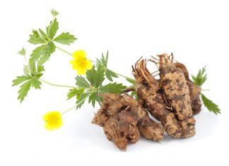 Potentilla erecta plante anti-inflammatoire