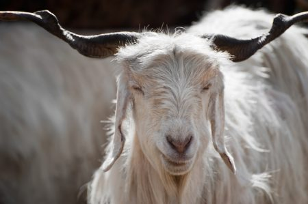 chèvre himalaya cachemire pashmina