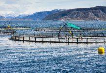 élevage saumons pollution métaux lourds