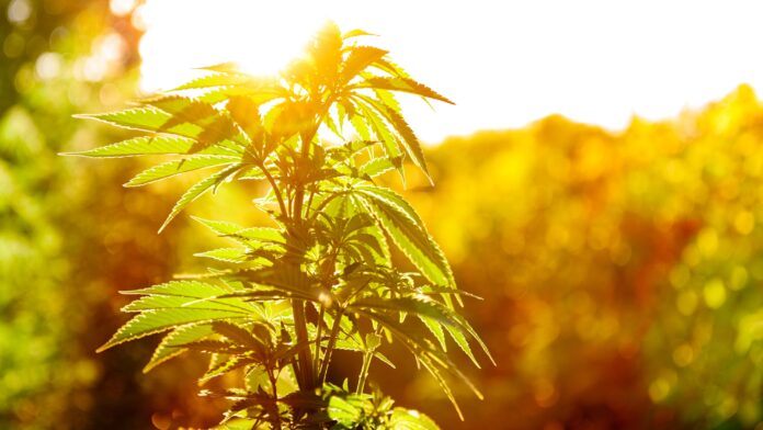 huile essentielle de cannabis sativa reponses bio