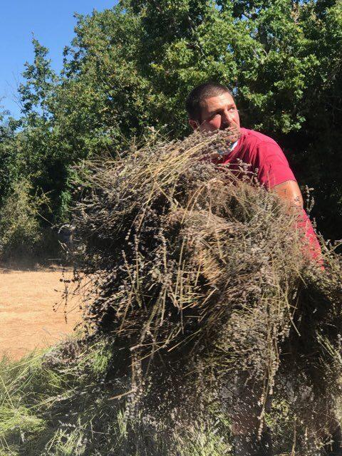 Récolte de la lavande fine du Quercy - Vanadal
