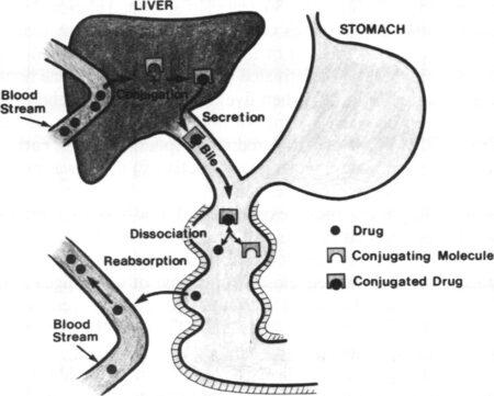 Évacuation entérohépatique normale des médicaments du flux sanguin